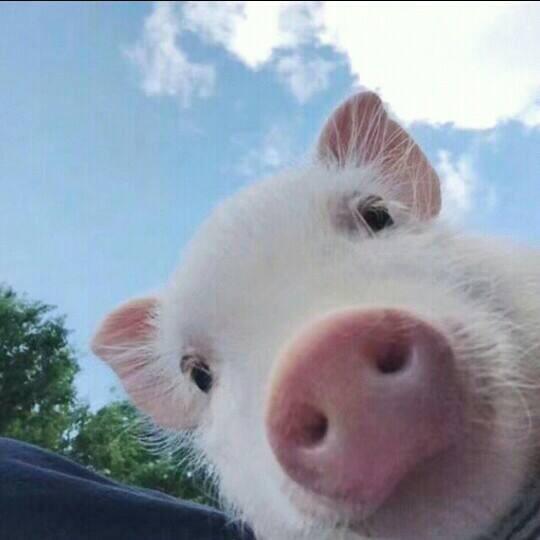 小猪(刺激战场)